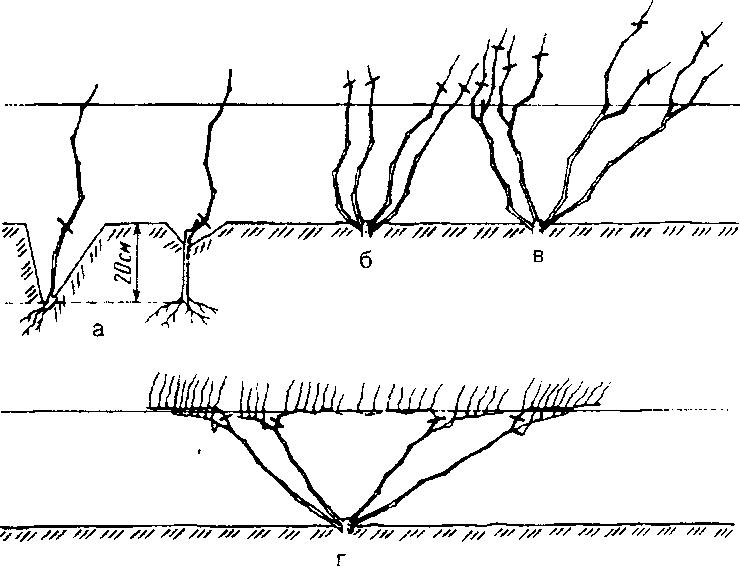 Когда сажают виноград весной в средней полосе 94